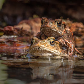 toads by Eddie Leach - Animals Amphibians ( nature, frog, toad, toads, frogs )