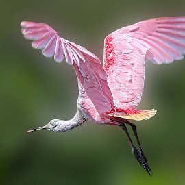 Roseate Spoonbill  by Doreen Rutherford - Animals Birds