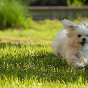 Fleky runer  by Mario Novak - Animals - Dogs Running