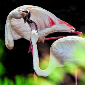 The Kiss by Mahdi Hussainmiya - Animals Birds ( sri lankan zoo, courting flamingos, pwctaggedbirds, flamingos )