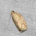 Lined Oak Leafroller moth