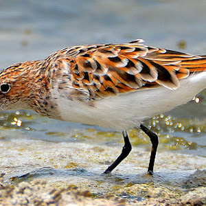 sandpiper catched insect1.jpg