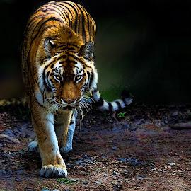 The Tiger by John Larson - Digital Art Animals