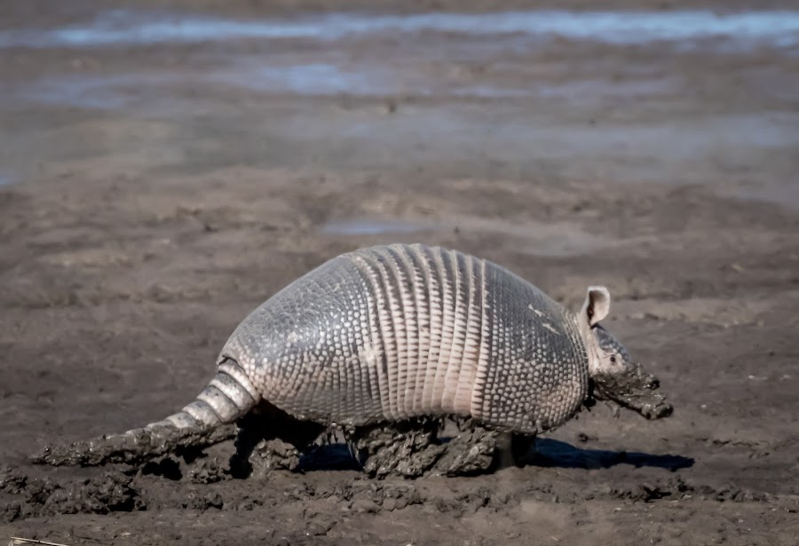 Armadillo in mud by Jim Hendrickson - Novices Only Wildlife ( armadillo, mud, nature, outdoors, wildlife )