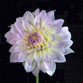 Lavender Dahlia by Jim Downey - Flowers Single Flower ( white, dahlia, yellow, black, lavender )