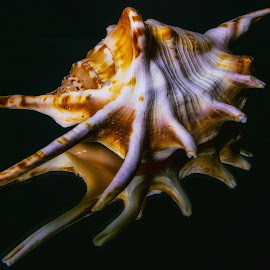 Sea Shell by Dave Walters - Artistic Objects Still Life ( sea shell, colors, water world, nature up close, lumix fz2500 )