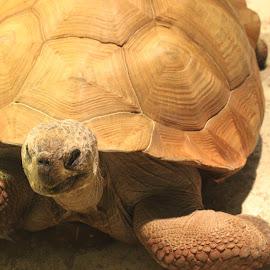 Tortoise by Victoria Fenton - Animals Reptiles ( tortoise, zoo, reptile, turtle, portrait )