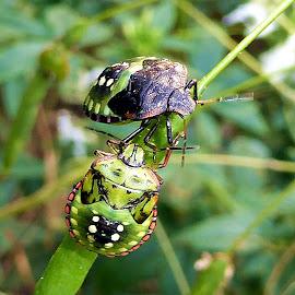stinkbugs by Anica Mazura - Animals Insects & Spiders ( stinkbug, food, harvesting, bug, garden )