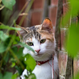 Peeping Tom by Ray Fitzpatrick - Novices Only Pets ( cat, ginger, pet, white, garden, animal )