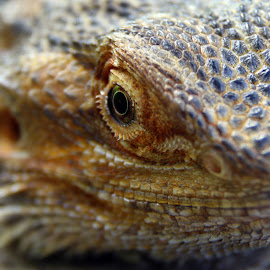 Dragon Eys by Ruari Plint - Animals Reptiles ( lizard, scales, dragon, brown, smile, reptile, closeup, eye )