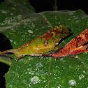 Leaf Mimic Grasshoppers