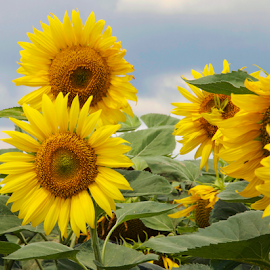 sunflowers field by LADOCKi Elvira - Flowers Flowers in the Wild ( nature, flowers, garden,  )