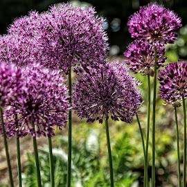 BRND alium 01 18 by Michael Moore - Flowers Flower Gardens (  )