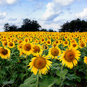 The Choir Sings by Ann J. Sagel - Nature Up Close Flowers - 2011-2013 ( ann j. sagel, sunflowers,  )