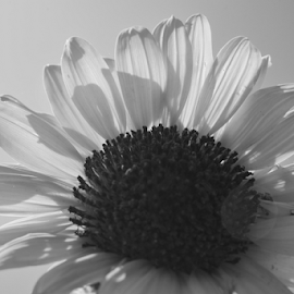 The Sun Shines by Kent Moody - Black & White Flowers & Plants ( black & white, nature, sunhine, sunflower, flower,  )