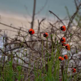 Макове by Dobrinka Ivanova - Flowers Flowers in the Wild ( макове )