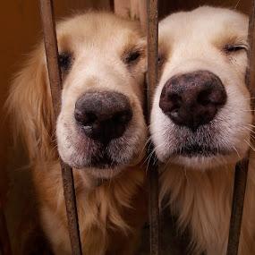 Pleaded by Erl de Jose - Uncategorized All Uncategorized ( golden retriever, dogs, animals, pet, furry,  )