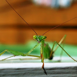 You lookin at me? by Louise Ritchie - Novices Only Macro ( macro, watching, green, insect, praying mantis )