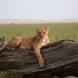 Relax by Vinish Shah - Animals Lions, Tigers & Big Cats ( cats, lion, masai, lioness, kenya, wildlife )