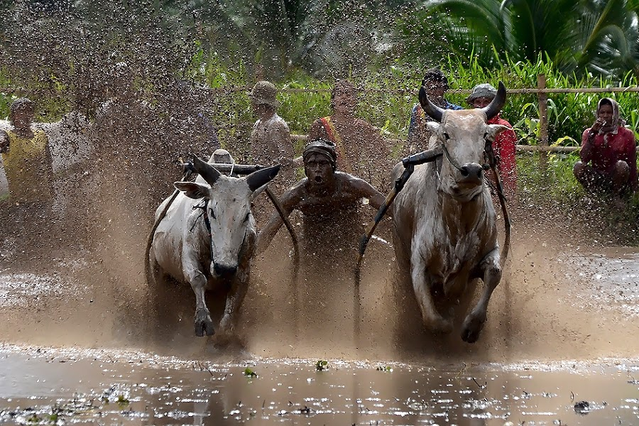 Totality by Achmad Tibyani - Sports & Fitness Rodeo/Bull Riding ( tanah datar, bull racing, pacu jawi, cow racing )