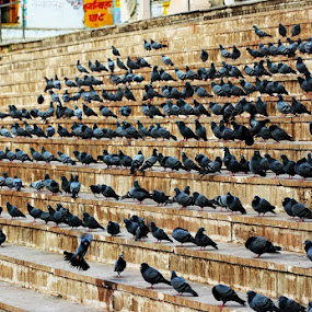 Assembly by Pinaki Pradhan - Animals Birds ( pigeon, puskar, assembly, india, birds )