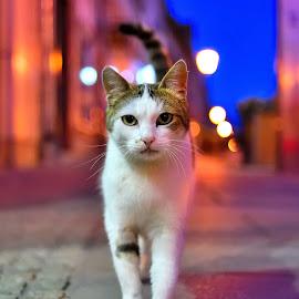 by Florin Mogos - Animals - Cats Portraits ( lights, cat, cat eyes, full body, street )