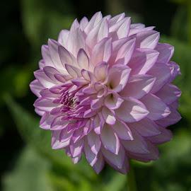 by Janet Marsh - Flowers Single Flower ( dahlia, white and purple )