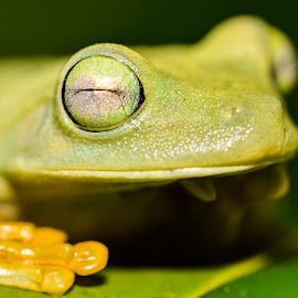 Frog ;-) by Gina Mesa - Animals Amphibians ( animals, nature, frog, frogs )