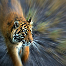 Tiger cub on the prowl by Stephen Avery  - Animals Lions, Tigers & Big Cats