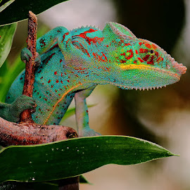 Caméléon multicolor 2 by Gérard CHATENET - Animals Reptiles