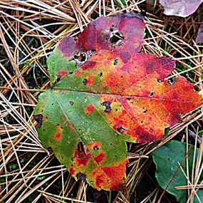 Leaf with holes by Liz Pascal - Novices Only Flowers & Plants (  )