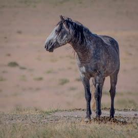 Surveying the Herd by Susan Ward - Animals Horses ( mustang, wild horse, wild mustang, horse, utah mustang )