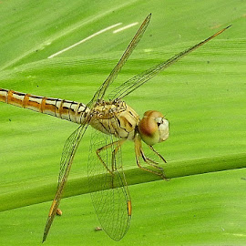 Dragonfly on a leaf by Govindarajan Raghavan - Animals Insects & Spiders