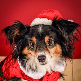 Pogo by Myra Brizendine Wilson - Animals - Dogs Portraits ( canine, pogo, pet, dog )