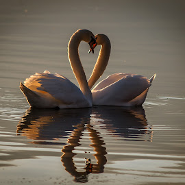 Love is all around by Robert Panoski - Animals Birds ( #swan #love #heart #lake #sunset )