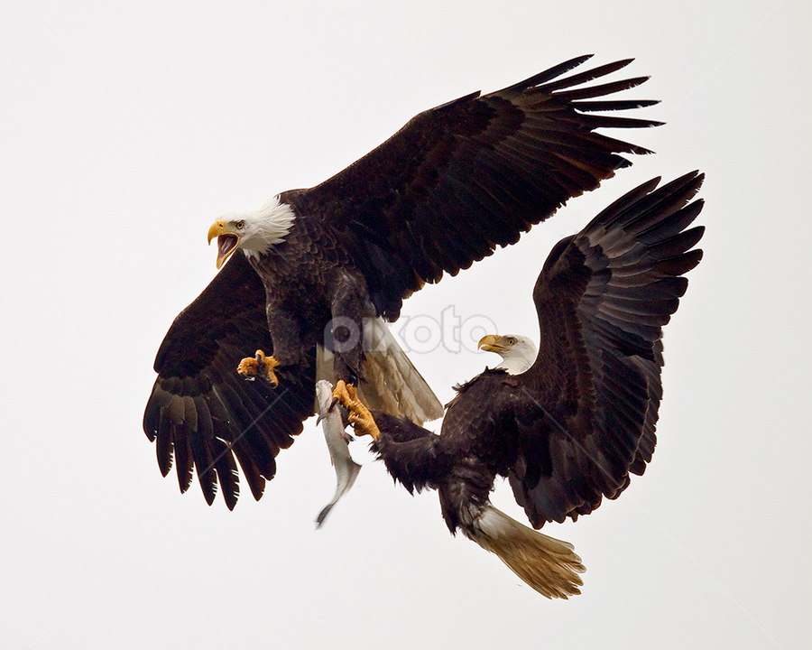 Bald Eagle Fish Steal by Herb Houghton - Animals Birds ( eagle, bird of prey, bald eagle, raptor )