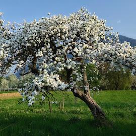 Pomlad se bohoti by Bojan Kolman - Nature Up Close Trees & Bushes (  )