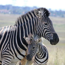 Zebra mother & baby by Susan Botha - Novices Only Wildlife