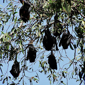 Bats by Sarah Harding - Novices Only Wildlife ( nature, bats, outdoors, novices only, wildlife )