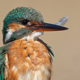 Kingfisher by Ivan Stulic - Animals Birds ( bird, alcedo atthis, kigfisher, croatia, common kingfisher, nin )