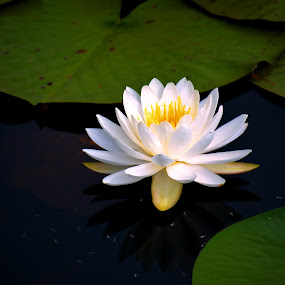 Water Lily on a pond by Bill Martin - Flowers Flowers in the Wild ( water, reflection, nature, white, yellow, water lily, flower,  )