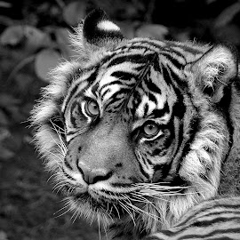 Daseep by Kathryn Willett - Black & White Animals ( big cat, tiger, black and white, majestic, portrait )