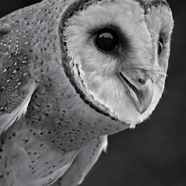 Owl bw by AbngFaisal Ami - Black & White Animals