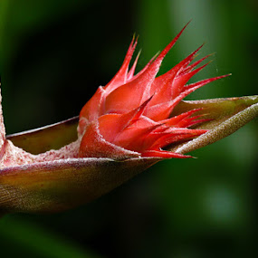 Budding Bromeliaceae by Josh Mayes - Nature Up Close Flowers - 2011-2013 ( new, life, red, tropical, budding, bloom, burst, bromeliaceae, close-up, flower )
