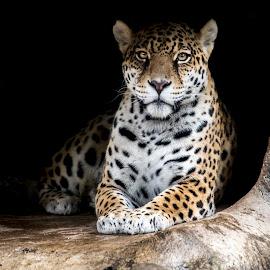 Jaguar hiding our from the rain by Lisa Coletto - Animals Lions, Tigers & Big Cats ( jaguar, big cat, felinr, juvenile )