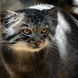 by Renos Hadjikyriacou - Animals - Cats Portraits
