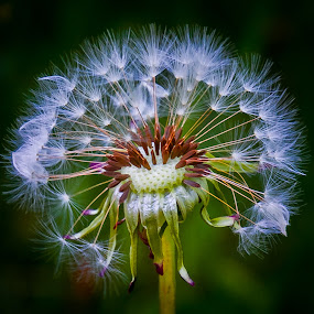 Purity by Eduard Andrica - Nature Up Close Other plants ( dandelion, nature, green, plants, white, close up, flower,  )