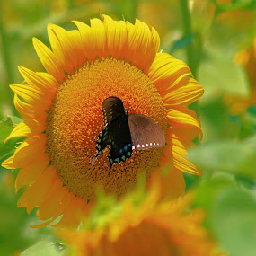 Drawn to Yellow  by Sandy Darnstaedt - Animals Insects & Spiders