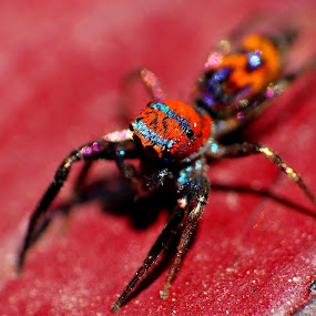 Colourful spider by Brijesh Shivashankar - Animals Insects & Spiders ( macro, colourful, animalia, spider, arthropoda )