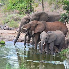 Elephants by Diane Rogers Jones - Novices Only Wildlife